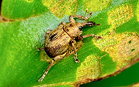 chevroned water hyacinth weevil
