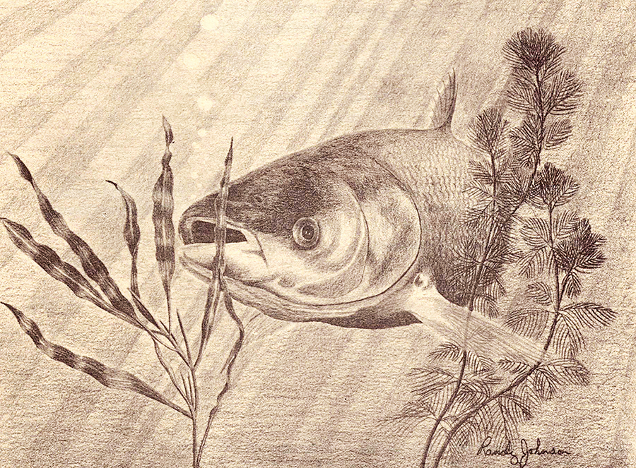 Chinese Grass Carp - Randy Johnson (DNR, 1980)