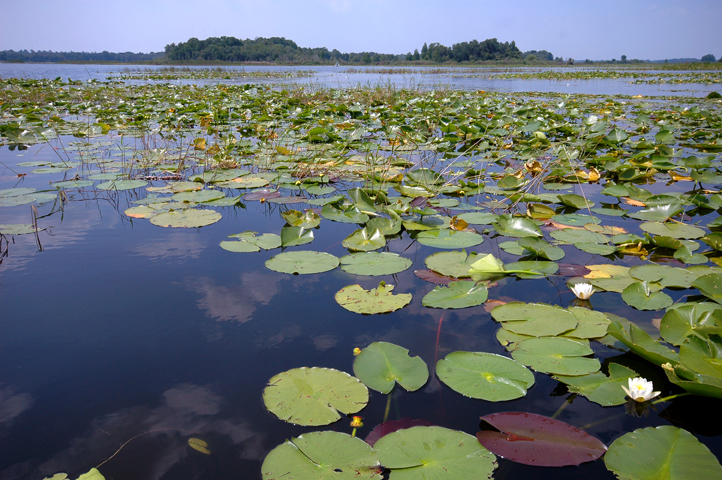 Floating-leaved plants are typically rooted in the bottom sediments with leaves floating on the water surface, like these native fragrant water lilies.